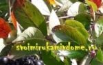 Лимонник китайский. фото, лечебные свойства и противопоказания. рецепты применения, как приготовить, настойка из травы, семена растения