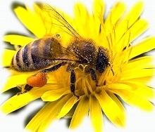 Пыльца пчелиная. Полезные свойства, как принимать, противопоказания, вред, как употреблять женщинам, детям, взрослым для поднятия иммунитета. Отзывы