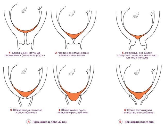 Анатомия матки женщины: как выглядит, строение, фото