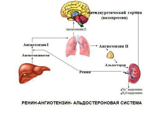 Почки у человека: расположение, фото, где находятся, строение женские, мужские, функции, как работают, болезни