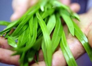Хельба трава. Польза, применение для женщин, мужчин, детям. Целебные свойства, противопоказания