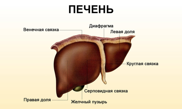 Пищевод человека: схема, строение