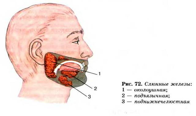 Воспалился язык: железа, уздечка, сосочки-пупырышки, по бокам. Фото, лечение у ребенка, взрослого, к какому врачу обратиться